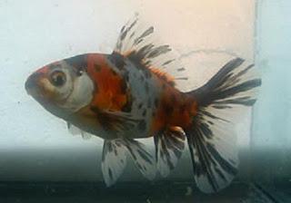 Bristol Shubunkin Goldfish