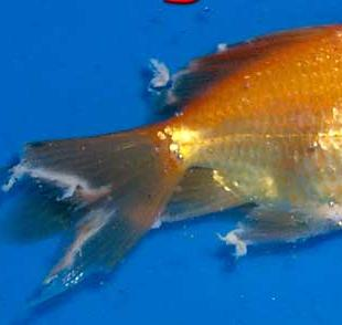 Goldfish care types pictures diseases and treatment for Fungus on fish