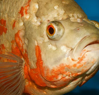 Hole in Head Goldfish Disease