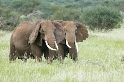 Pair elephant animals picture
