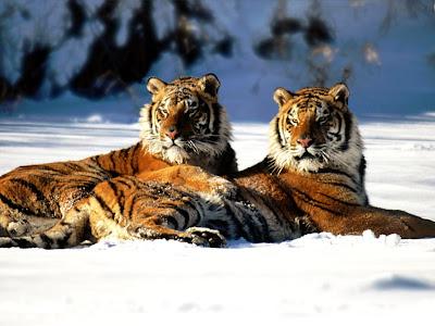 Pair tigers pics