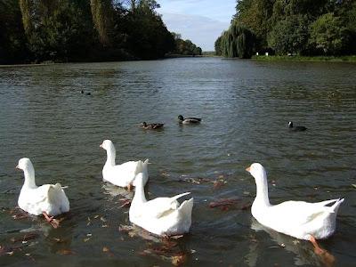 geese in Schwetzingen