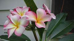 Plumeria!