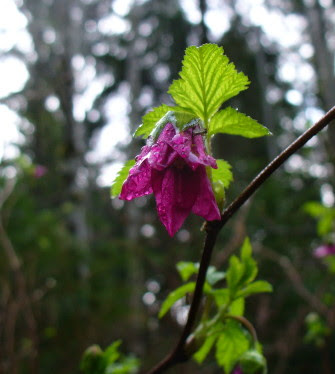 salmon berry blossom, spring flower, wild flowers