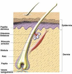 Es la estructura principal y visible del pelo y está formada por tres partes  Cutícula 96839dde9a66
