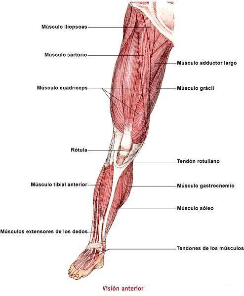 Los músculos: Músculos del miembro posterior