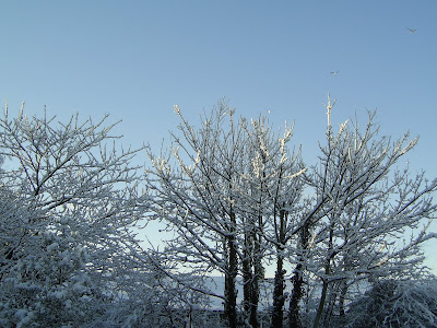 Snow-laden trees in my back garden in South Wales, December 2010.