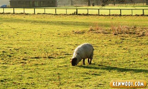 harewood leeds sheep