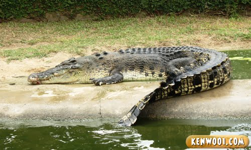 langkawi crocodile