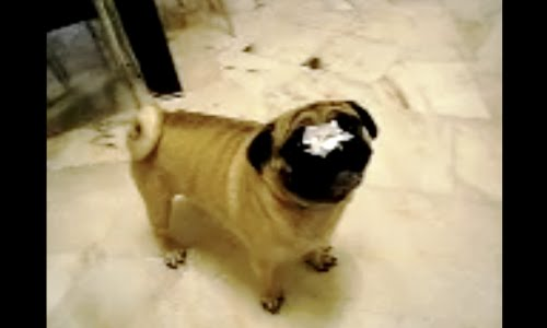 pug with tissue