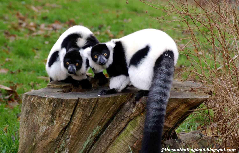 zoo howletts