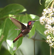 Ruby Topaz Hummingbird, Trinidad