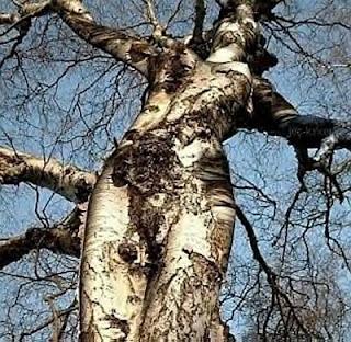 Pohon ini berbentuk seperti manusia, benar benar aneh