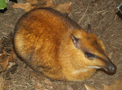 Deer MouseMouse