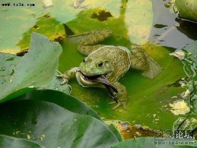 Frog eating bird - photo#18