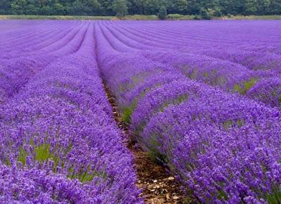 Jual benih bunga lavender Kebun bunga lavender gambar anti nyamuk tanaman