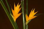 Caribea amarilla