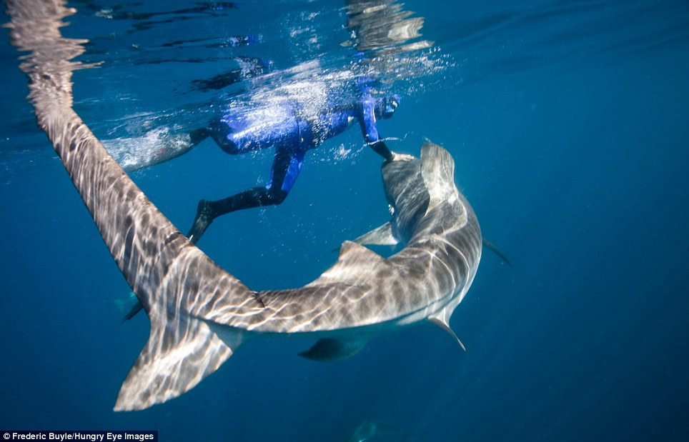 swiming Tiger Sharks