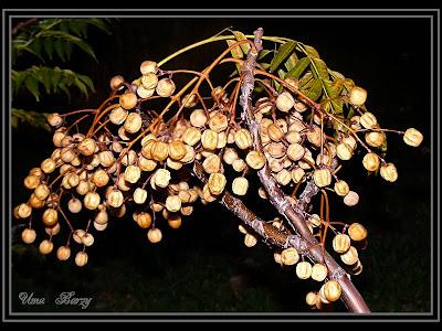 семена дерева