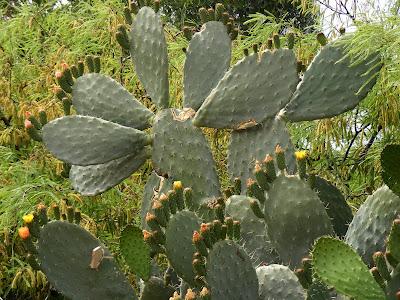лапы кактуса