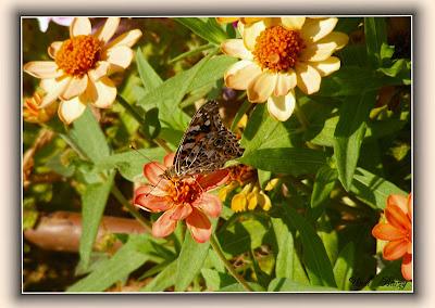 бабочка, цветы, фото