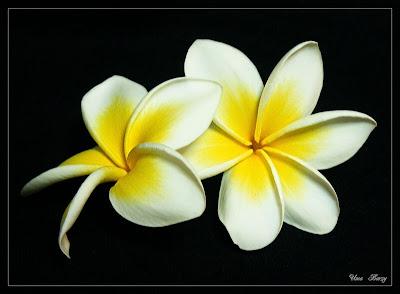 белые цветы на чёрном фоне