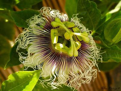 как цветёт пасифлора