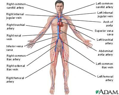 h5t5a: organ system, Cephalic Vein
