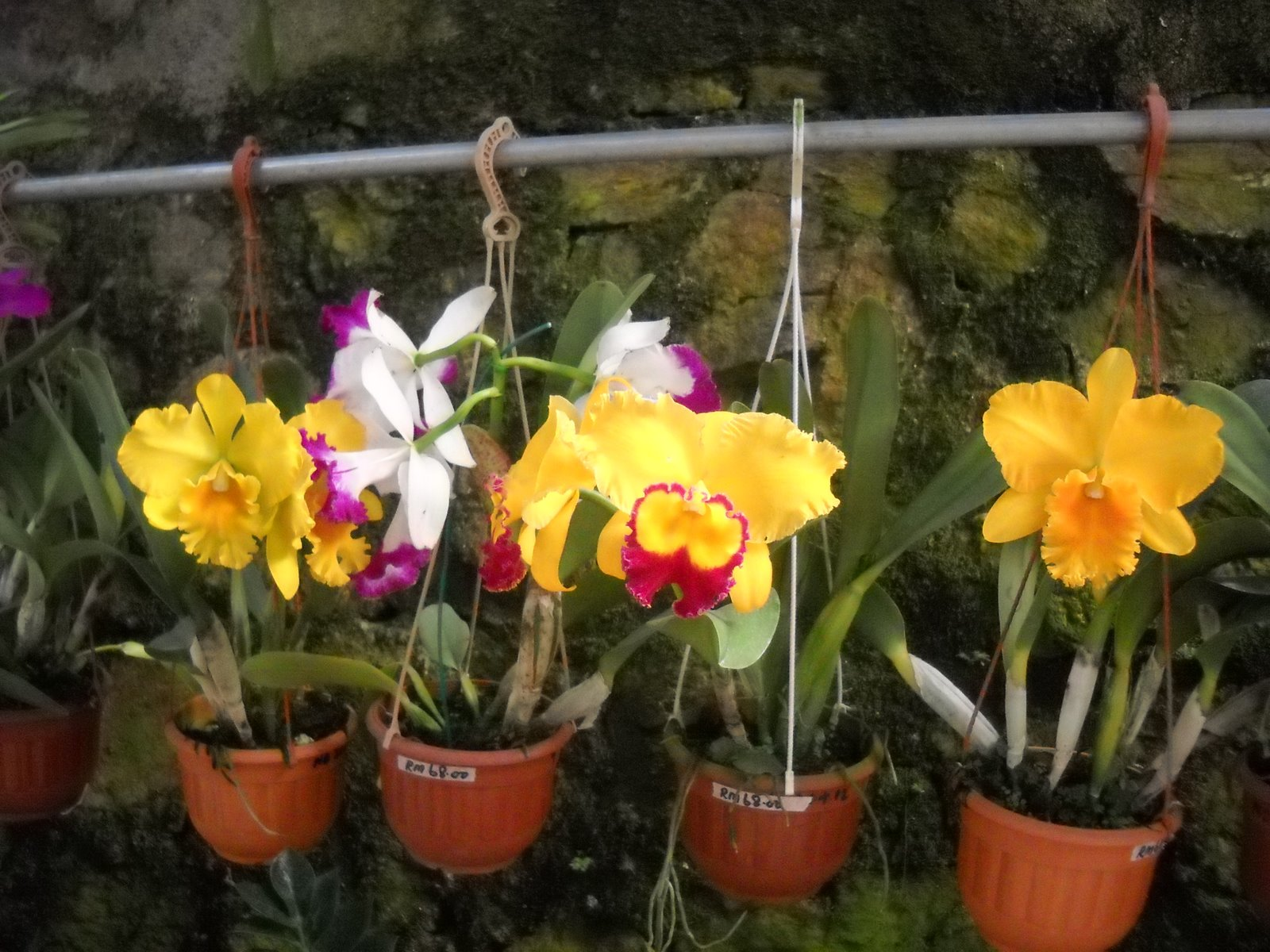 Stories from around the world orchid flowers cameron highland but after that next bloom flower so small lah the reason could be orchid flowers are from cameron highland with cool climate izmirmasajfo