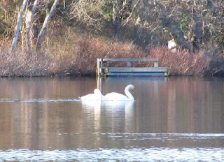 Swans on Herring Pond, Eastham