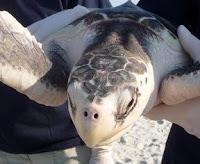 Stranded Turtle