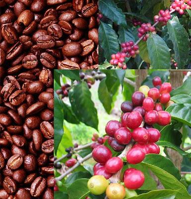 biji kopi pada buah ceri