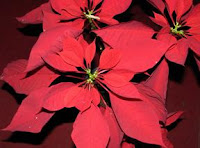 Bunga Poinsettia