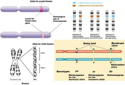 alel, kromosom dan gen