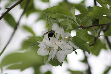A bee in the Apple Blossoms