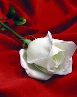 Una rosa por la amistad
