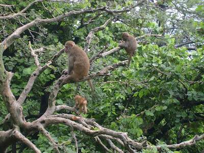 Vaishno devi monkeys