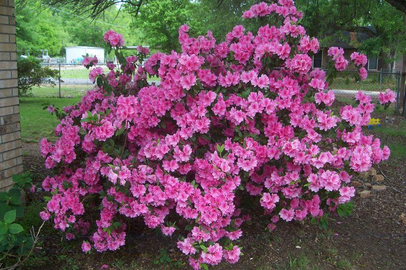 Davy 39 s louisiana gardening blog azaleas still going strong for The azalea