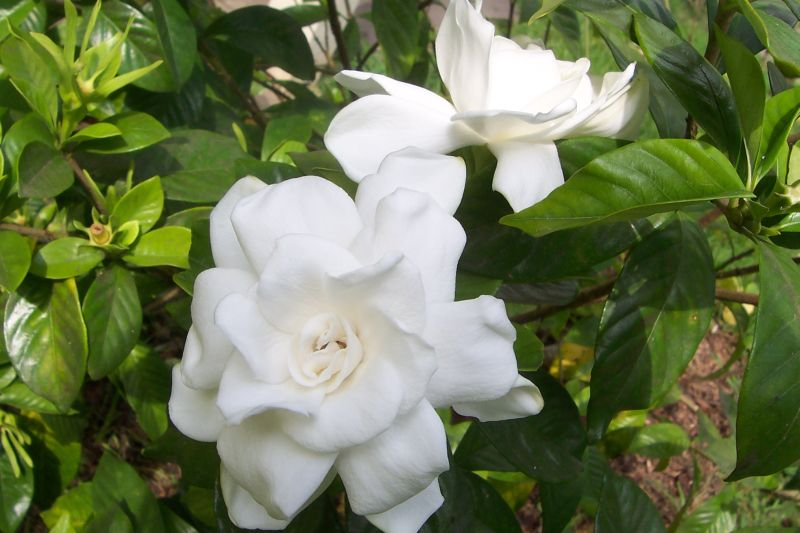 Davys louisiana gardening blog the most fragrant flower of all unfortunately there are plenty of pests that also love gardenias foremost among them is the pesky whitefly i seldom spray any of my flowers with mightylinksfo