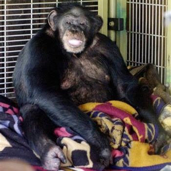 Travis the Chimpanzee Attack Charla Nash