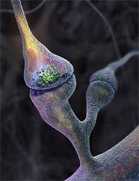 Les synapses des cellules nerveuses.