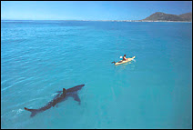 Un grand requin blanc dans le sillage d'un kayakiste. Ce requin s'en prend également aux surfistes et aux bâteaux.