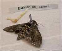Un papillon de nuit cyborg... Il s'agit d'un Manduca Sexta après le stade pupa équipé d'un implant de silicium. Document David Erickson, Université de Cornell.