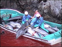 Chasse au dauphin à Taiji, au Japon. Document Sea Sheperd.