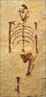 Le squelette de Lucy découvert en 1974.