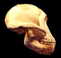 Reconstitution du crâne de Lucy mettant en évidence le Foramen magnum.