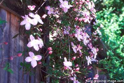 Clematis-vine-San-Rafael-landscaping