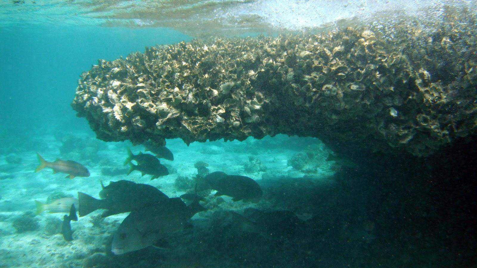 Underwater oyster reef - photo#3