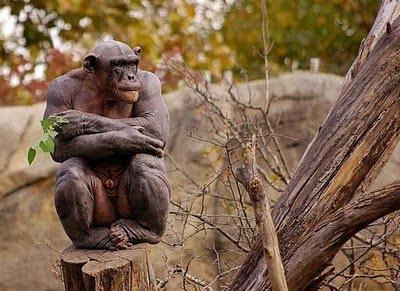 Simpanse Aneh Botak