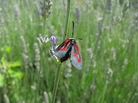 Éberség : Cabella, pillangó